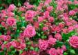 Голландские розы украсили областной центр