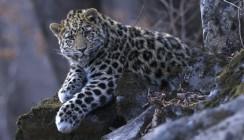 ВТБ вложит 5 млн долларов на сохранение крупных кошачьих в России