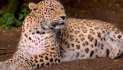 Стартовал проект ВТБ и Всемирного фонда дикой природы по сохранению редких кошачьих