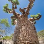 Baobab with pattern